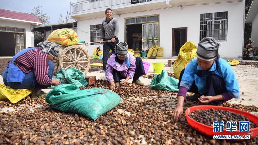 廣西凌云:低產油茶改造助農脫貧